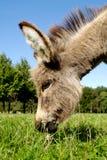 Âne mangeant l'herbe Photos libres de droits