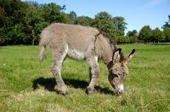 Âne mangeant l'herbe Photo libre de droits