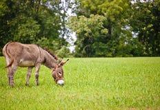 Âne mangeant l'herbe Images libres de droits