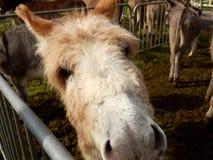 Portrait d'âne Photographie stock