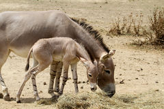 Âne sauvage africain avec des jeunes Image stock
