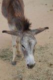 Âne sauvage mignon dans Aruba Images libres de droits
