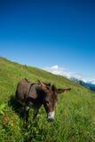 Âne sur un pré dans les hautes montagnes en été Photographie stock libre de droits