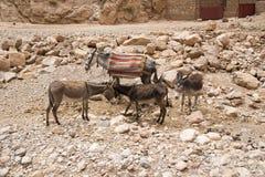 Ânes au Maroc Photo libre de droits