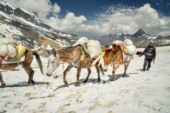 Ânes dans la neige au Népal Images stock