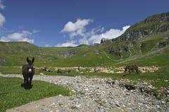Ânes et moutons Photographie stock