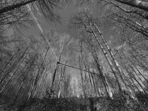 Ângulo largo das árvores altas no monochrome Foto de Stock Royalty Free