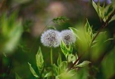 两个与被弄脏的绿色叶子的白色蒲公英絮球特写镜头在背景 库存照片