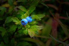 两个狂放的蓝莓在森林里 免版税库存图片