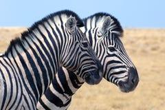 两匹斑马在埃托沙国家公园,纳米比亚,非洲南部紧挨着站立在大草原,徒步旅行队的特写镜头 免版税库存图片