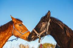 两匹阿拉伯马亲吻反对天空蔚蓝的 免版税库存图片