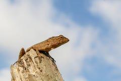 东方庭院蜥蜴 库存照片