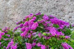 与一个老织地不很细石墙的美丽的开花的桃红色九重葛花在背景中 免版税库存照片