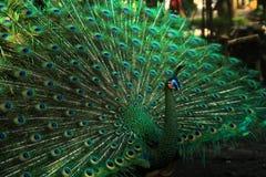 与一条美丽的尾巴的绿色孔雀 库存图片