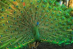 与一条美丽的尾巴的绿色孔雀 免版税库存照片