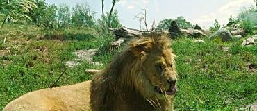 与他的舌头的狮子 库存图片