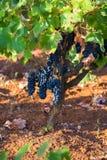 与叶子在自然情况,葡萄园的成熟紫色葡萄在普利亚,在意大利南部,特殊Salento 图库摄影