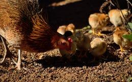 与小的小鸡的母鸡 免版税库存图片