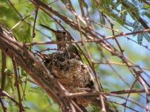 与小鸡的蜂鸟巢在豆科灌木 库存照片