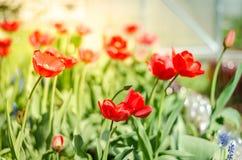 与开花的红色郁金香的美好的自然场面在太阳火光/春天花 美丽的草甸 领域花红色郁金香 免版税库存图片