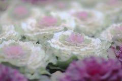 与心脏的一圆白菜芸苔acephala 库存图片