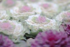 与心脏的一圆白菜芸苔acephala 免版税库存照片
