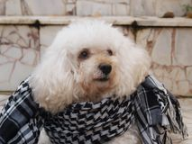 与在花岗岩地板上的一条围巾上把放的软的羽毛的白色狗 库存照片