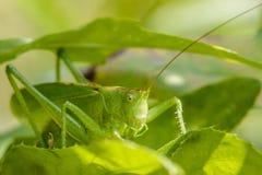 与掩藏在叶子中的长的颊须的蚂蚱 免版税库存照片