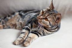 与明亮的黄色眼睛lais的英国短发猫在往观察者的米黄沙发倾斜的爪子 免版税库存照片