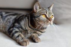 与明亮的黄色眼睛lais的英国短发猫在米黄沙发 Tebby颜色Ñ 犹特人猫在家 库存图片