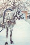 与灰色鬃毛的起斑纹灰色马在鞔具 库存图片