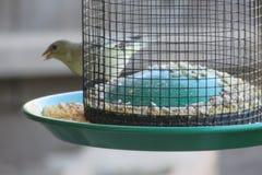与种子的鸟 图库摄影
