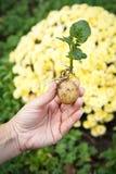 与绿色叶子的发芽的土豆肿胀在妇女的手上 免版税库存照片