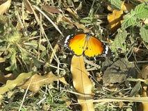 与白色斑点的黄色蝴蝶 图库摄影