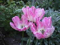 与白色鹦鹉郁金香的桃红色 免版税库存图片