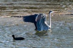 与被伸出的翼的灰色苍鹭在登陆在湖水中以后 免版税库存照片