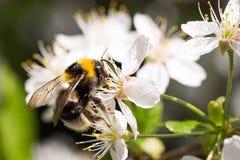 与花粉在樱桃花,明亮的晴朗的春日的蜂 免版税库存图片