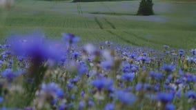与蓝色草甸黑矢车菊属野花的花卉夏天日落绿色领域没有在UHD照相机的人缓慢的mo 4K录影 股票录像