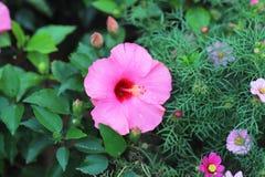与自然后面地面的一朵木槿花 免版税库存照片