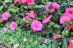 与自然后面地面的一朵木槿花 库存照片