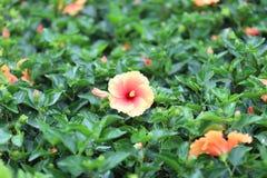 与自然后面地面的一朵木槿花 图库摄影
