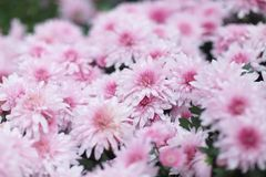 与自然后面地面的一朵菊花花 库存照片