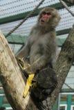 与香蕉小便的猴子 免版税库存图片