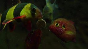 与鲜美片剂的哺养的水族馆鱼 影视素材