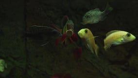 与鲜美片剂的哺养的水族馆鱼 股票录像