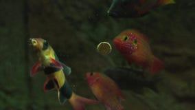 与鲜美片剂的哺养的水族馆鱼 股票视频