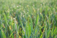 与露水下落的绿草在日出的 美好的早晨阳光春季 免版税库存照片