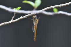 与透明翼的黄色伪装蜻蜓 库存照片