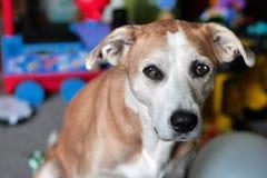 与Blue-Brown漩涡眼睛的华美的小猎犬混合狗 免版税库存照片