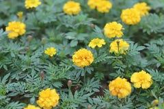 万寿菊花 雏菊家庭的植物 库存照片